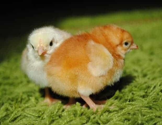 Цыплята бройлеры выращивание