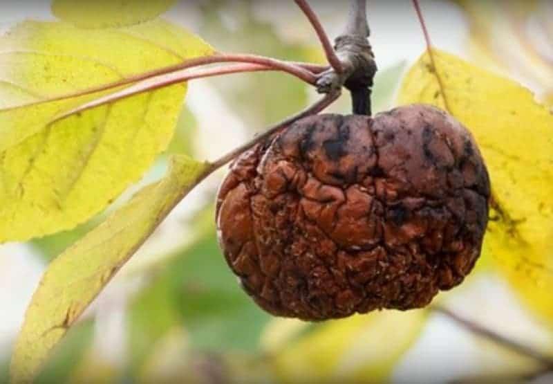 Яблоки гниют прямо на дереве, причина и что делать