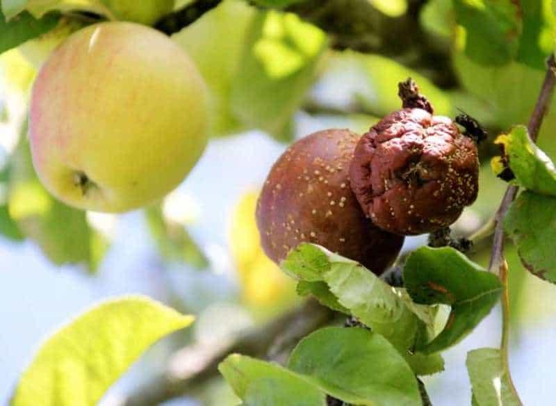 Яблоки гниют прямо на дереве: причина и что делать