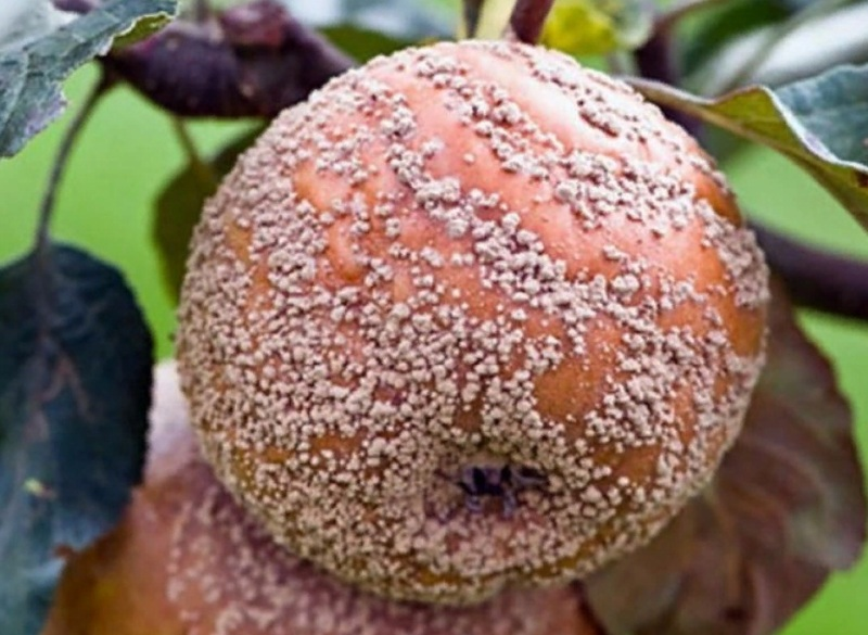 Яблоки гниют прямо на дереве: монилиоз