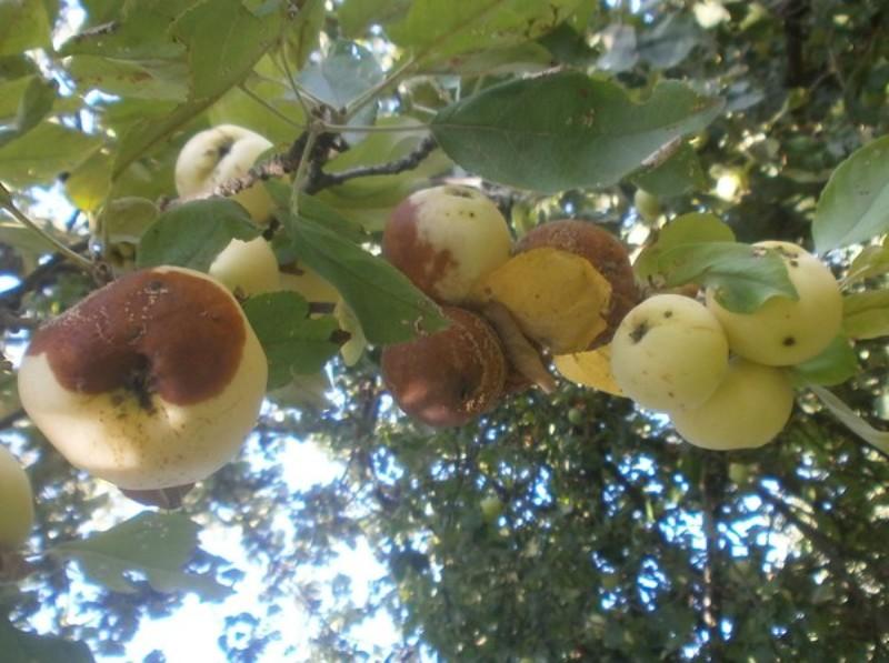 Яблоки гниют прямо на дереве: причины.