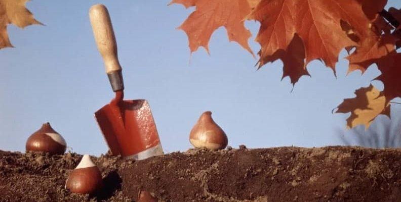 Посадка тюльпанов осенью: как и когда посадить
