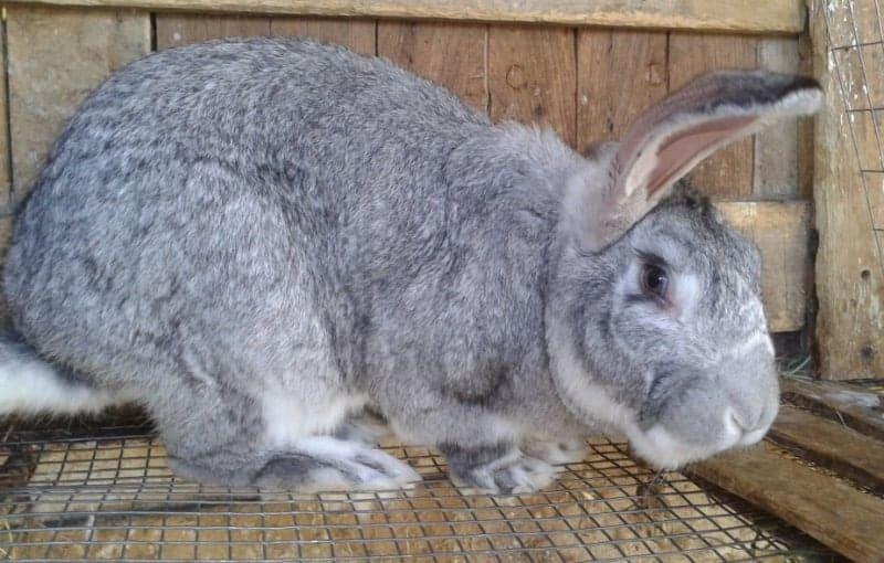 Мясные породы кроликов. Серый великан
