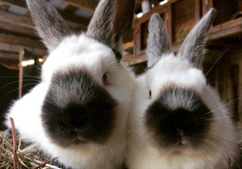 Кролики калифорнийской породы: достоинства и недостатки