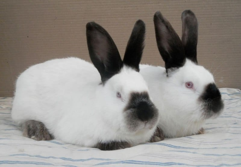 Мясные породы кроликов. Калифорнийский