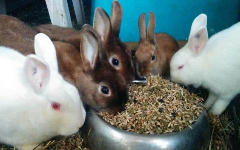 зерном лучше кормить кроликов