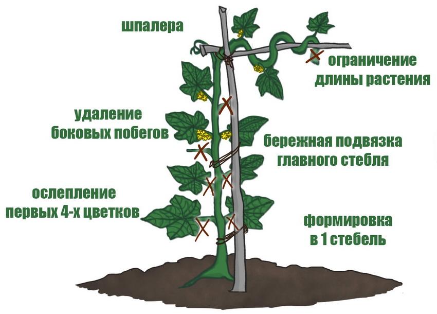 формирование куста огурцов