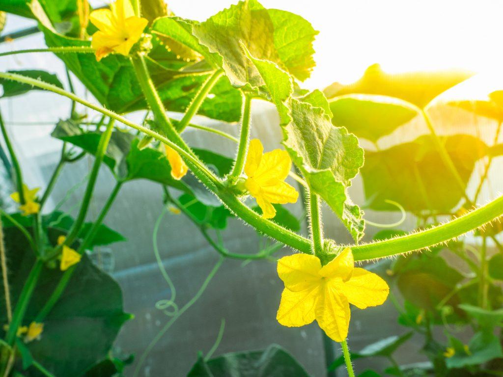 Почему не растут огурцы в теплице цветут